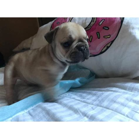 Micro French bulldog Lilac puppies for Sale in Irvine
