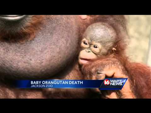 Orangutan that was shot with 74 pellets goes blind from