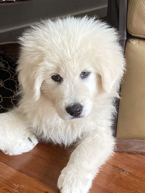 Maremma sheepdog puppies available | 2 months old in EAST