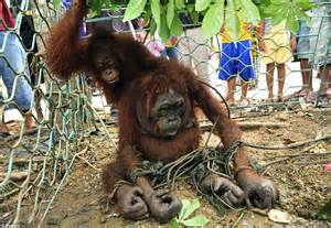Starving orangutans forced into villages to look for food