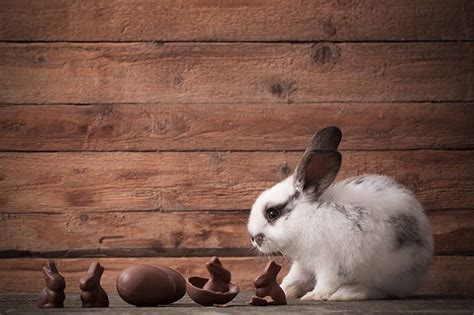 Can Bunnies Eat Chocolate - And What To Do If He Does!