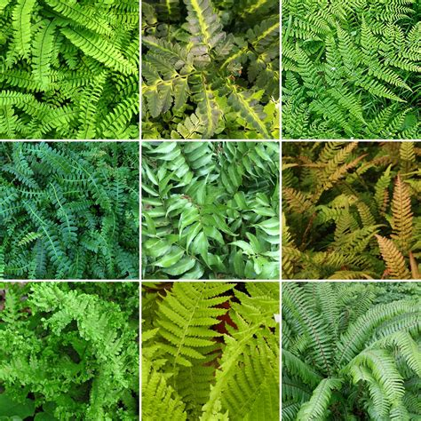 3 X Fern Plant Mix Collection - Potted Perennial Outdoor